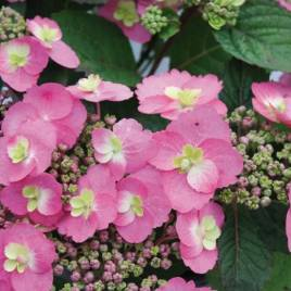Hydrangea serrata 'Cotton Candy' – Cotton Candy  hortenzia