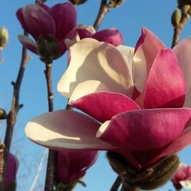 Magnolia soulangiana  'Satisfactiion'  – Szatisfaction liliomfa ÚJDONSÁG!