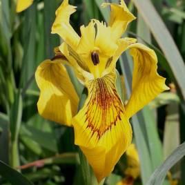Iris pseudacorus –  sárga mocsári nőszirom
