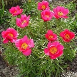 Paeonia x lactiflora 'Smouthii' –  Smouthi  törpe pünkösdirózsa ÚJRA!
