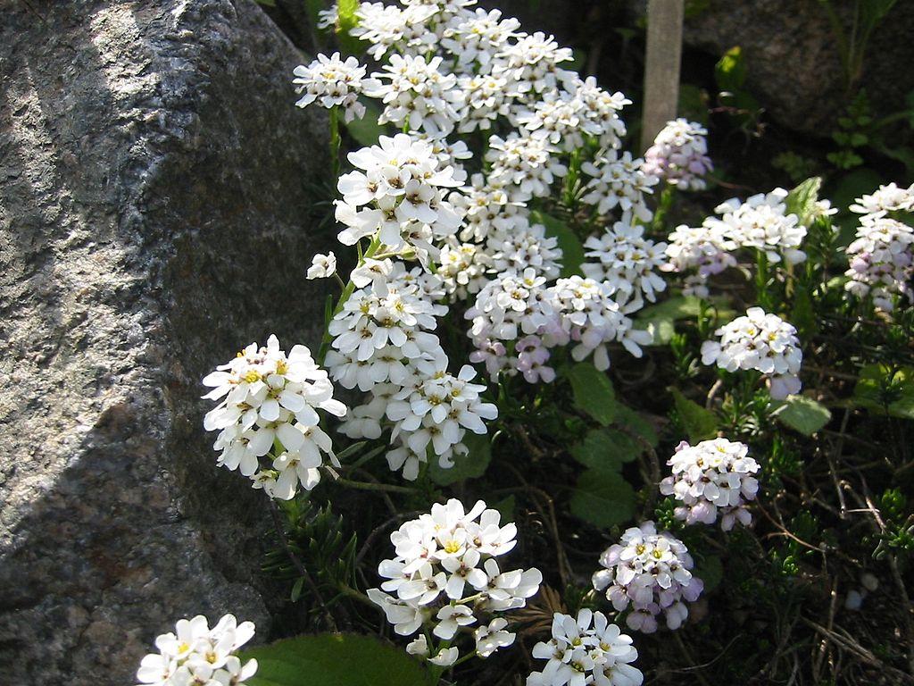 korai tatárvirág