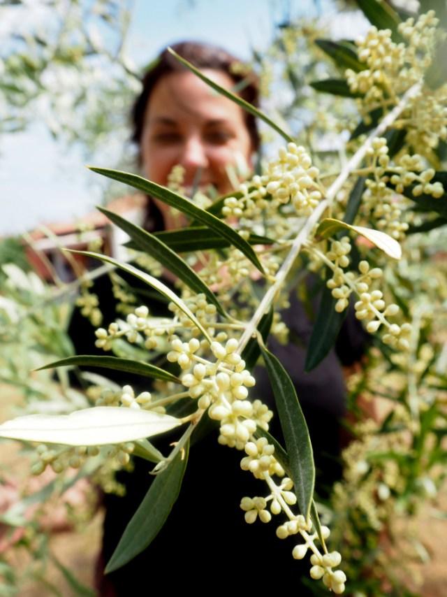 Det er mai måned og oliventrærne står i blomst