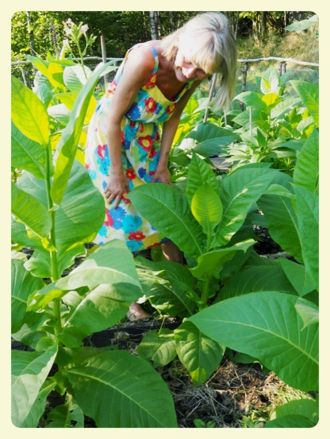 dagfrid og tobakksplanter