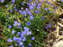 a double flowered wahlenbergia