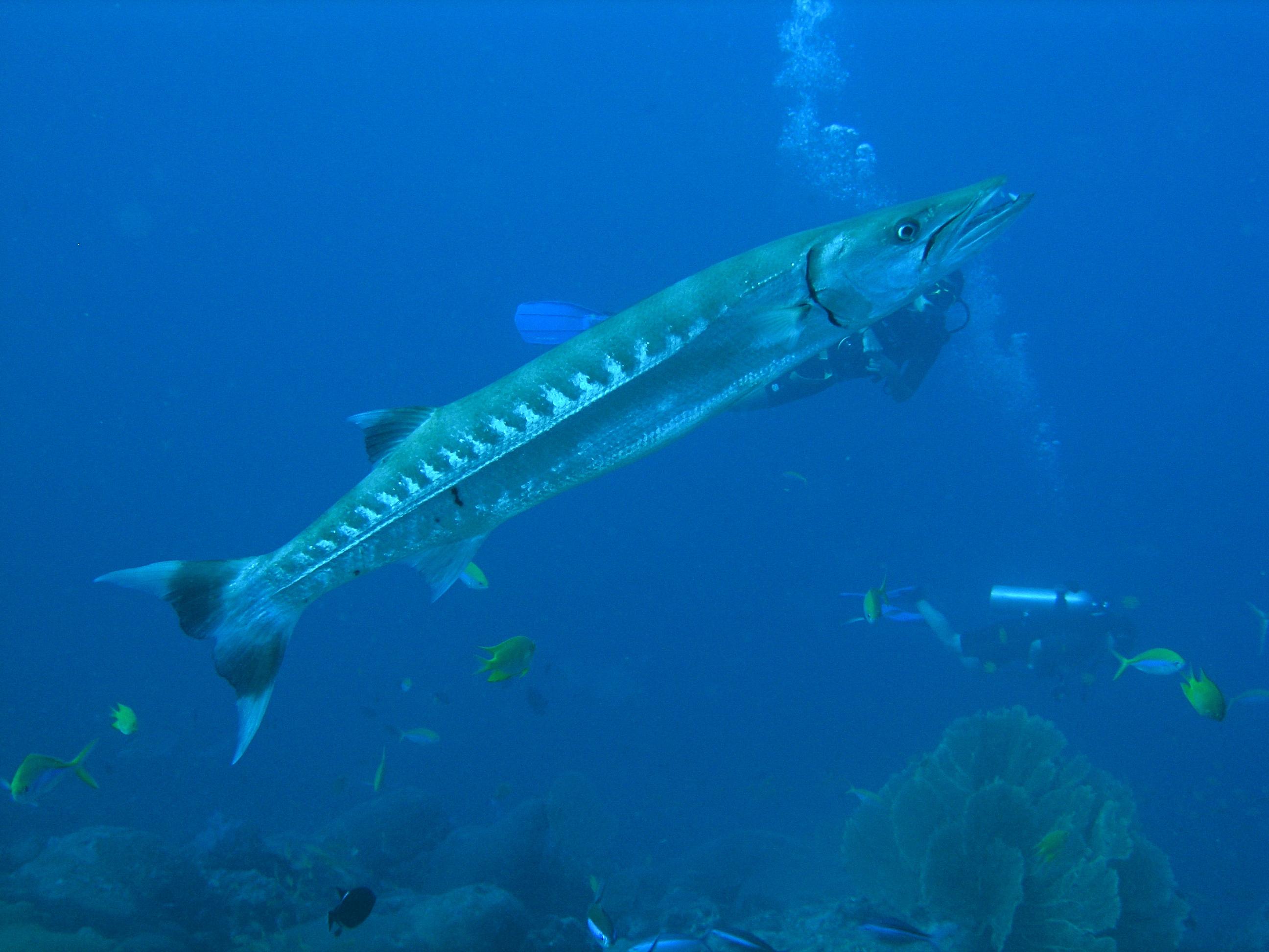 Solo Barracuda