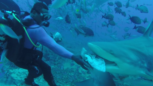 Bull shark feeding, Fiji