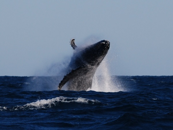 Humpback-Whale-Breach
