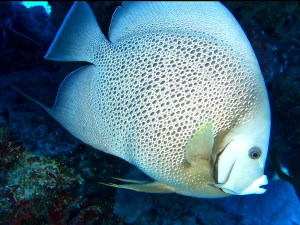 Dive Cozumel grey angel fish
