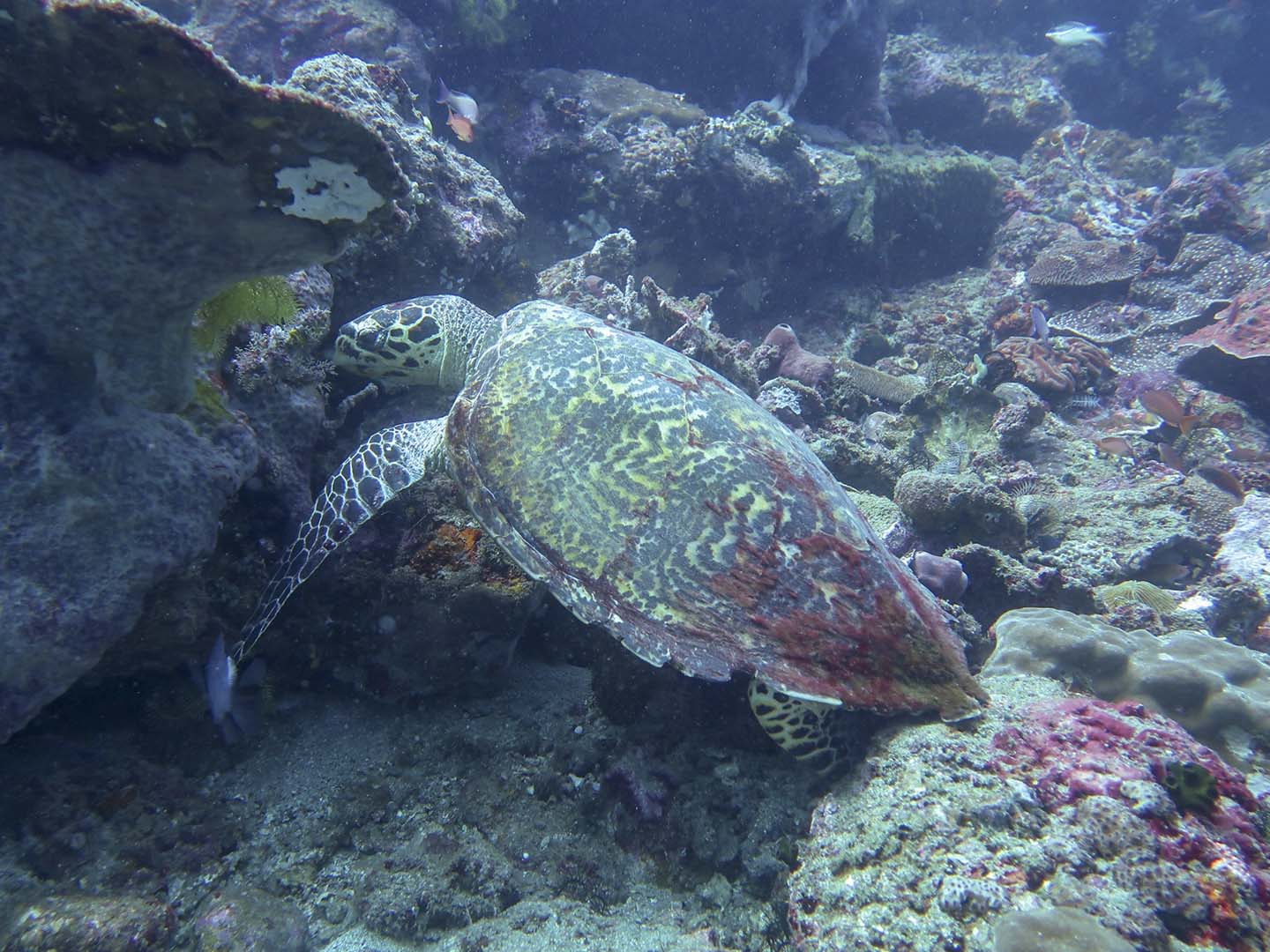 Sea turtle while diving in Anilao Batangas, Philippines