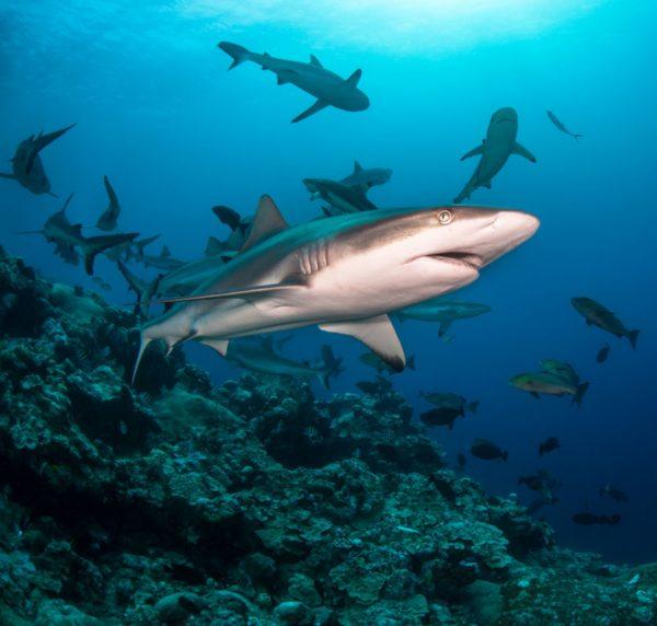 Diver Dena's Adventure Shop~Grey and Blacktip Reef Sharks-Underwater Images