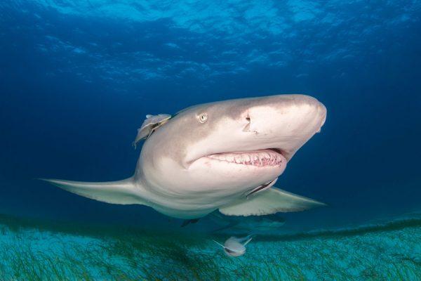 Diver Dena's Adventure Shop~Lemon Shark with Remoras and Tiger Shark, Tiger Beach, Grand Bahama