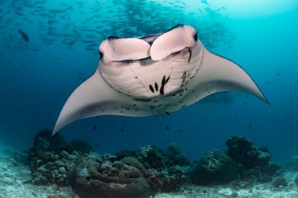 Diver Dena's Adventure Shop~Manta Ray