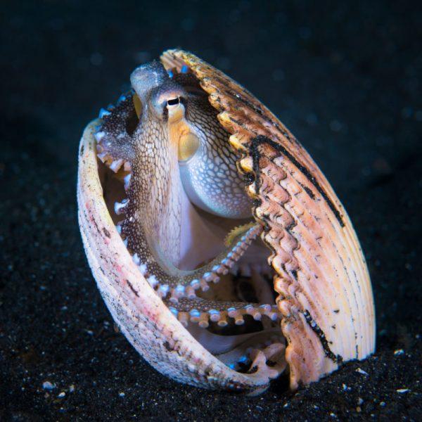 Diver Dena's Adventure Shop~Image of Coconut Octopus hiding in shell