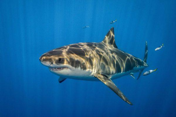 Diver Dena's Adventure Shop~Image of Great White Shark