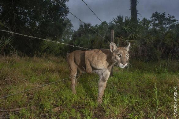 Path of the Panther | Carlton Ward Jr. | Nature