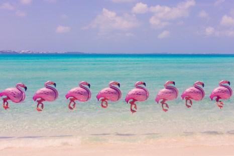 Bermuda Flamingos