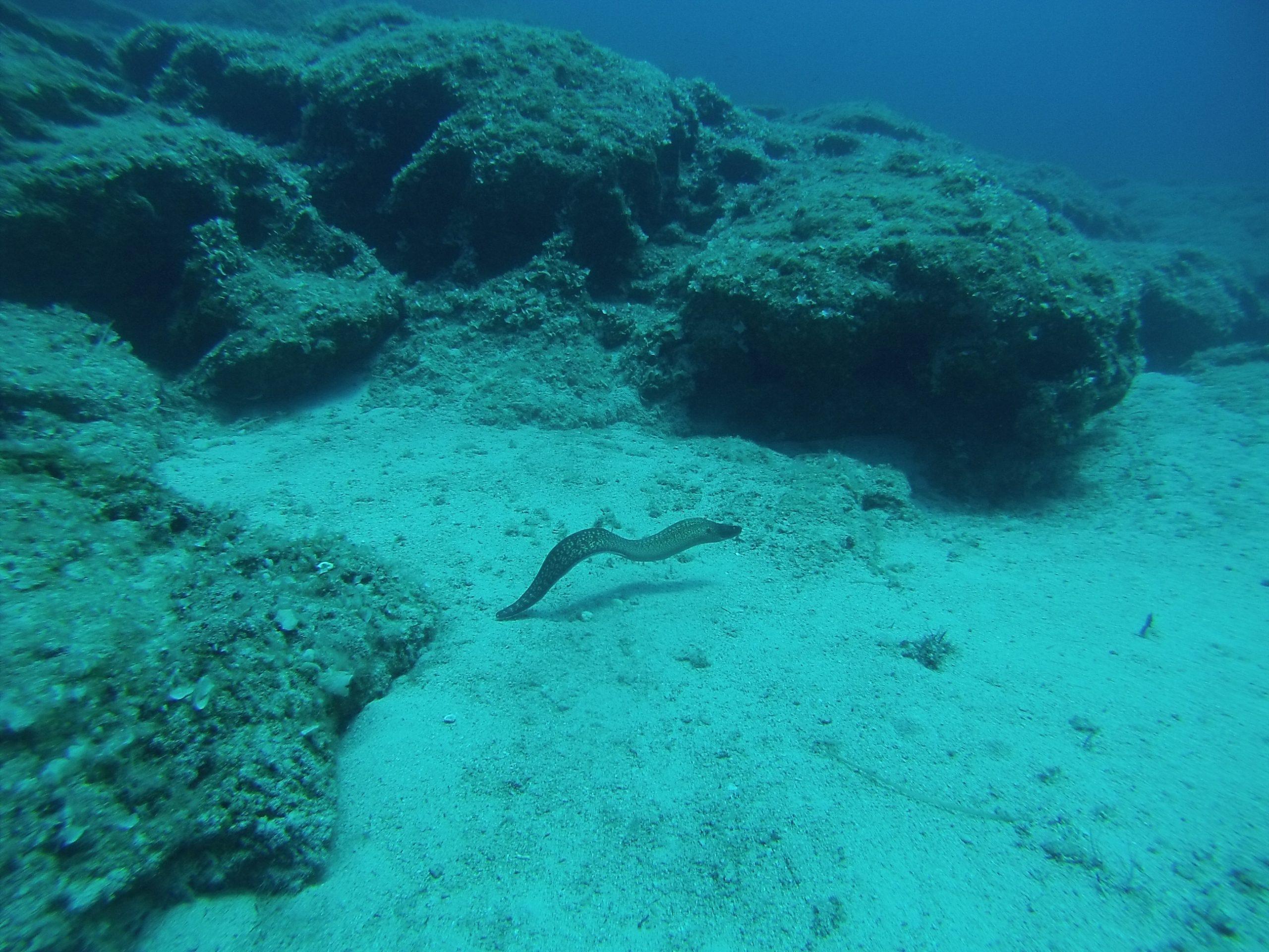 Free Swimming Moray