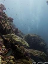 Broadcub cuttlefish; Thailand