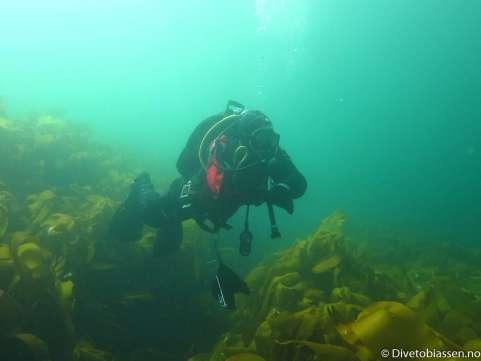 Dykker, tareskog, tørrdraktskurs