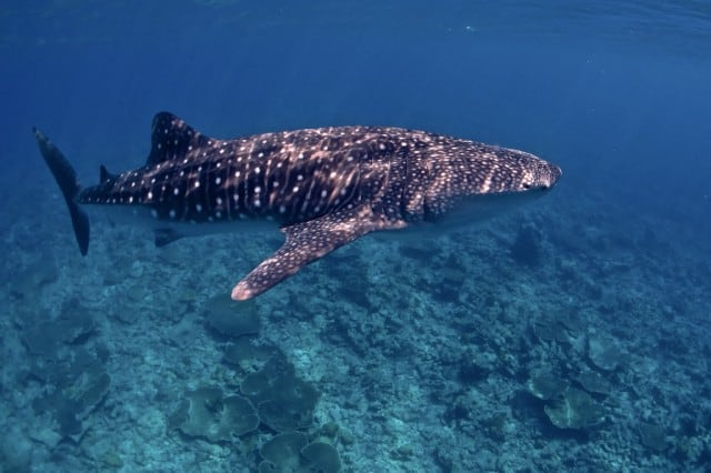 whale-shark