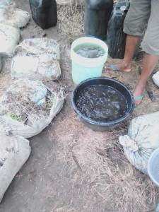 Catfish juveniles are poured into big bowls in preparation for introduction into earthen ponds