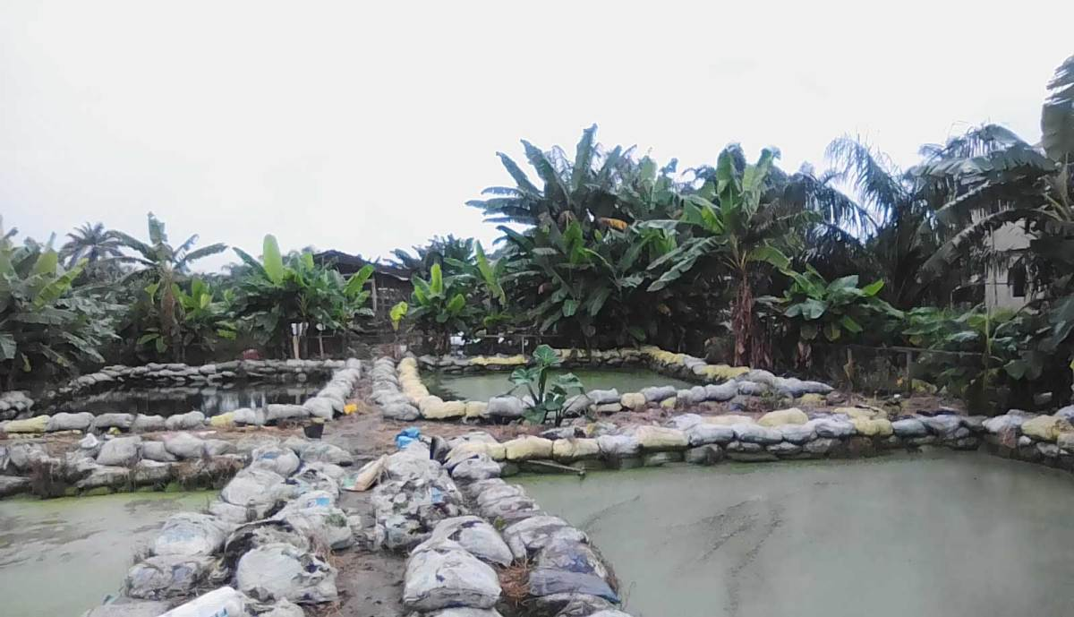 Catfish farming in Nigeria with earthen ponds