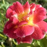 Divine_soul_higher_self_rose_divine_light_vibrations