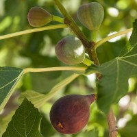 The Fig Tree: Those Amazing Herbal Compounds