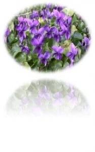 1. Violetas