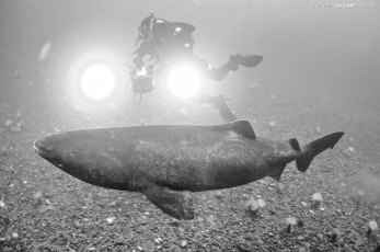 Diving with a Greenland shark in the Saint-Lawrence Estuary. Photo © Jeffrey Gallant | GEERG.ca