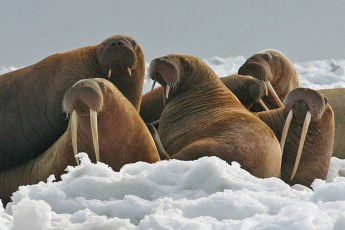 Walrus cows and yearlings. Photo by USFWS (Public Domain)