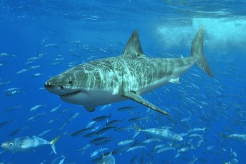 White shark at Isla Guadalupe, Mexico. Photo by Terry Goss (Creative Commons)