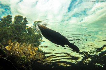 North American beaver (Castor canadensis) in the Cap Chat River, Québec. Photo © Jeffrey Gallant | Diving Almanac