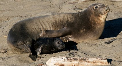 Mother and pup northern elephant seals. Photo by Jerry Kirkhart (Creative Commons)