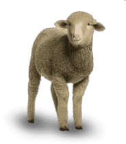 ovelha dolly sheep