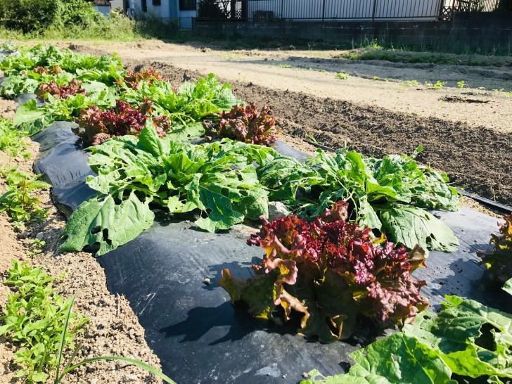 初心者が家庭菜園で育てているレタス
