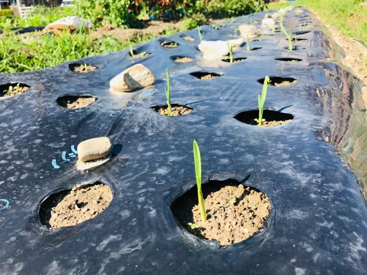 初心者が家庭菜園でニンニクを植えてから20日経った様子