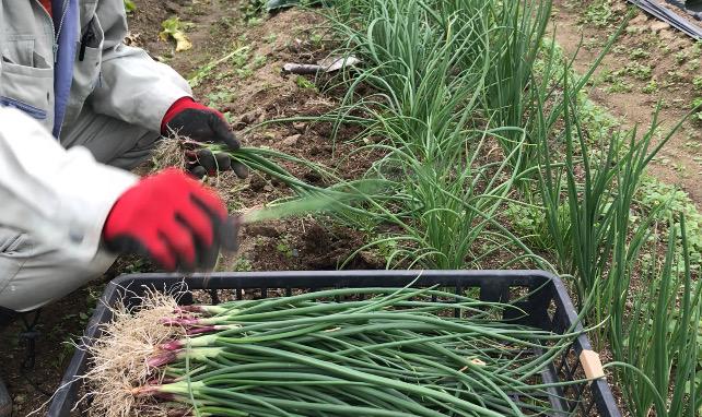 種から育てたタマネギの苗