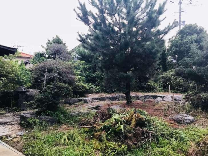 庭の松の木を剪定