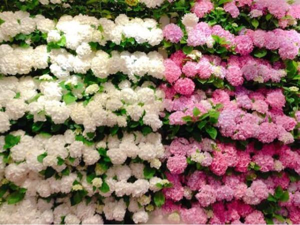 あじさいの壁 ピンクと白のあじさい