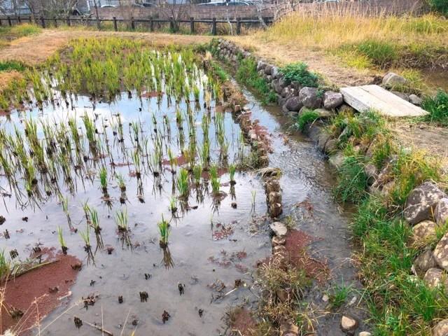 ペンギン水族館のビオトープの稲