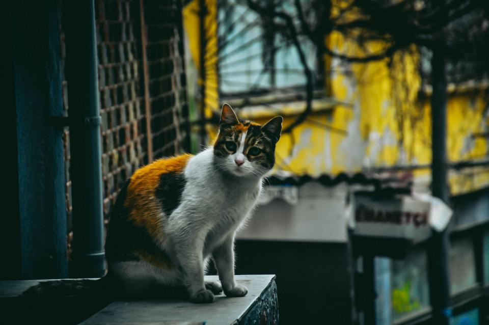 This is a cat on the street in Istanbul Turkey.
