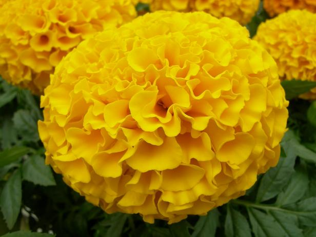 7 Ways To Use Marigold Flowers   DIY Network Blog  Made   Remade   DIY African Marigold Flower