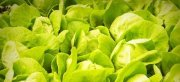 Amazing Facts and Health Benefits of Lettuce Nutrition