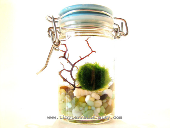 FREE SHIPPING Featured in NORDSTROM – Marimo Moss Ball Tiny Jar Aquarium / Terrarium: Several Colors Available by TinyTerrains