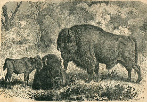 1883 Bison Vintage Print, Antique Engraving, Black and White, Brehm by CarambasVintage
