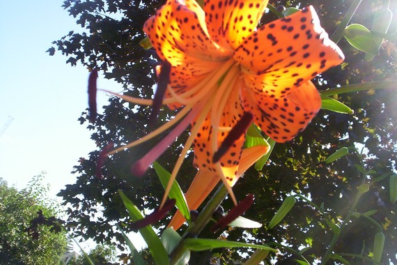 10 tiger lily bulblets Free Shipping by bergertime