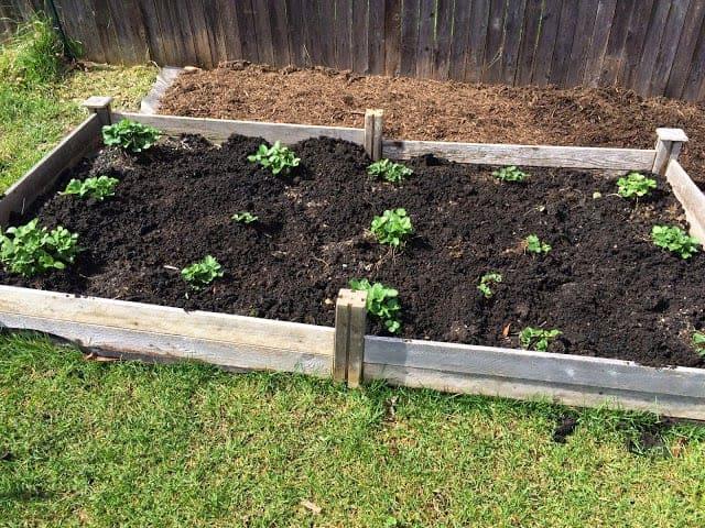 Transplanted strawberries thriving.