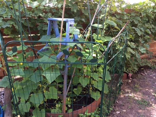 Cucumber trellis from an upcycled ladder.