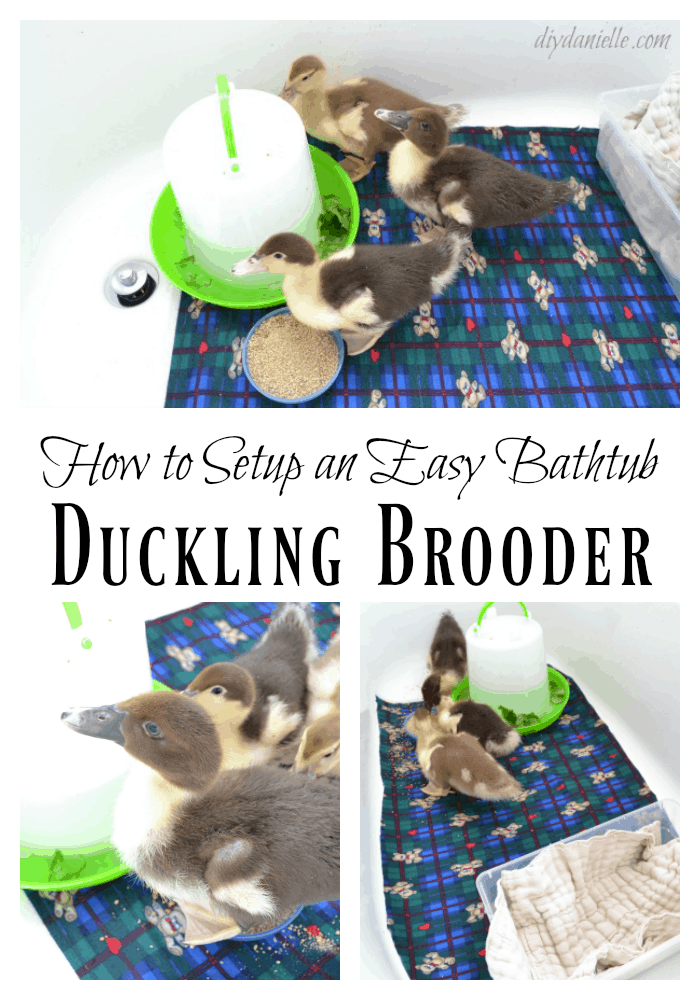 Bathtub Brooder Setup: Easy to Clean